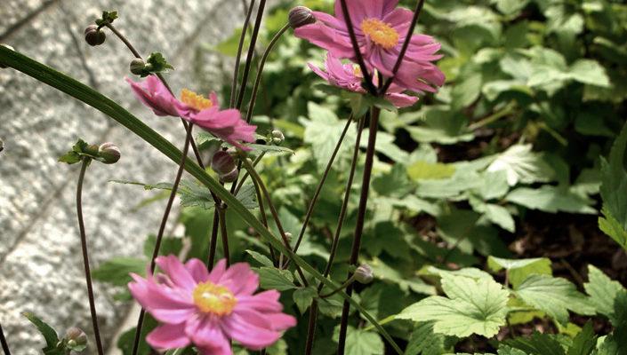 kwitnące byliny