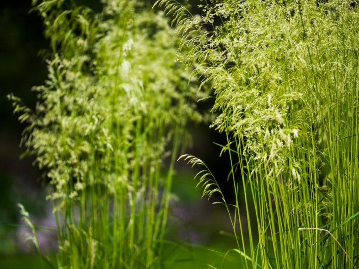 kwitnące trawy ozdobne