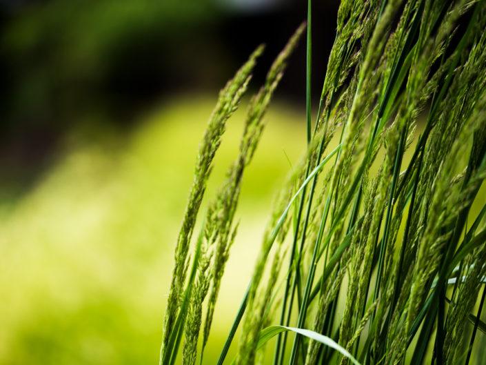 detal kwiatostan traw ozdobnych