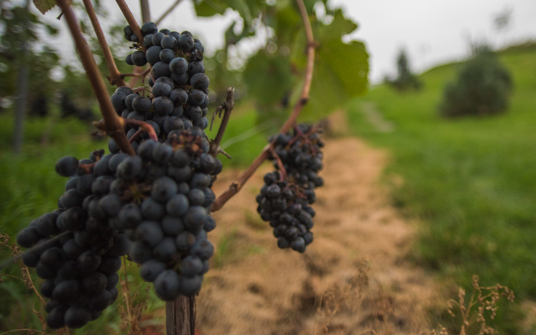 po posadzeniu winogron